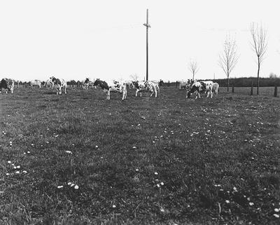 Cows grazing in field (original)